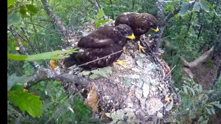 Shqiponja duke i ushqyer të vegjlit e saj