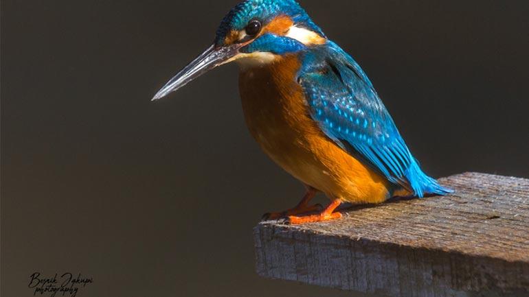 Objektivi i Besnik Jakupit kap në Kamenicë, zogun e bukur KingFisher