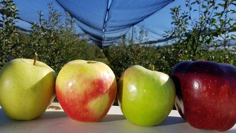 Të mirat e mollës në organizmin e njeriut