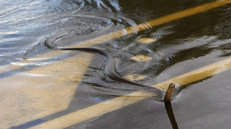 Vërshimet në Australi sjellin krokodila dhe gjarpërinj