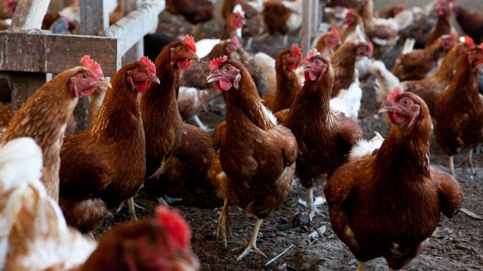 'Banda' e pulave mobilizohet, mbysin dhelprën që hyri në fermë