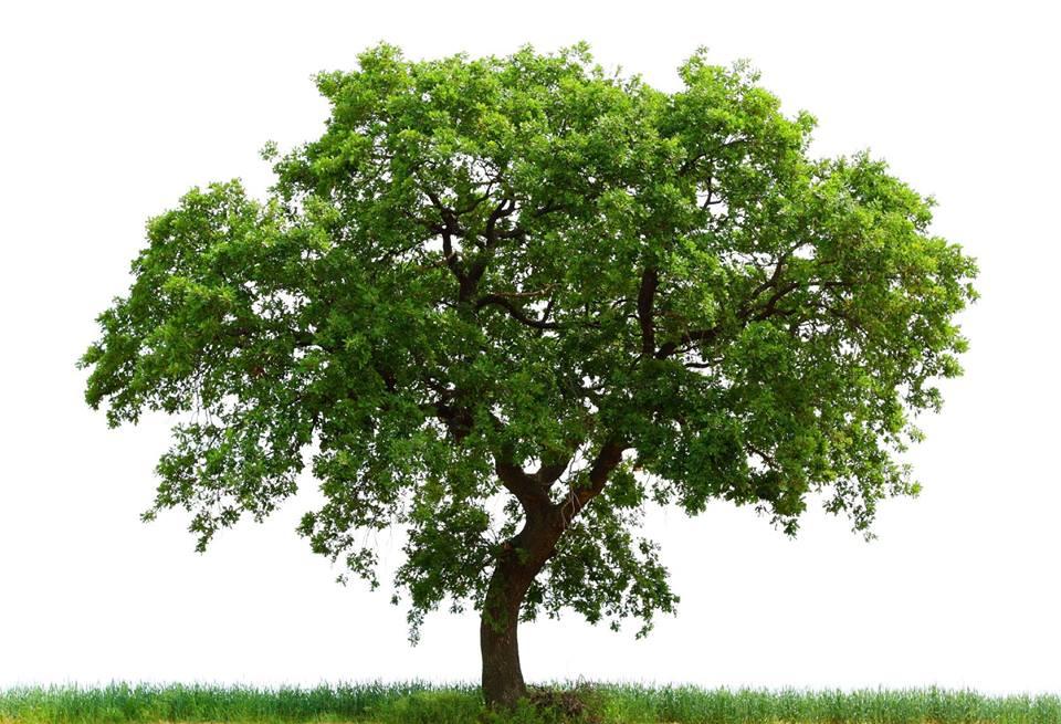 Anglia mbjellë 130 mijë drunj, lufton ndryshimet klimatike