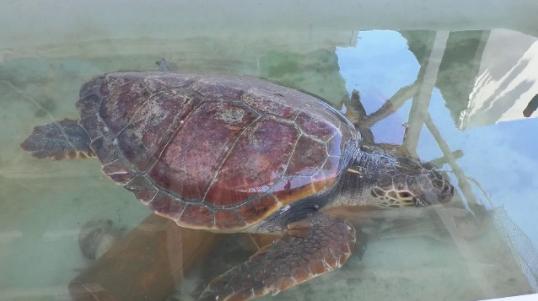 E rrallë, kapet breshka 20 kg në Fier