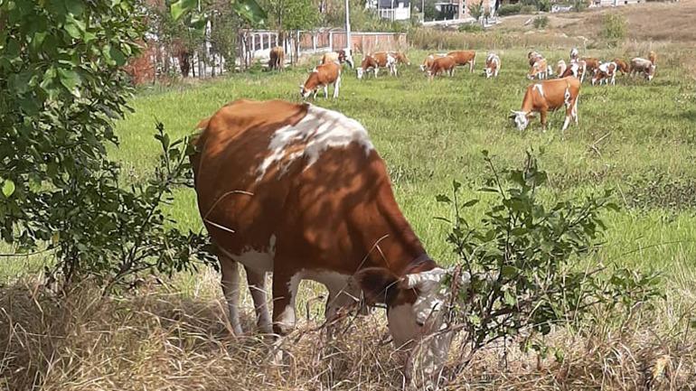 Hajnat ia vjedhin lopën dhe viçin
