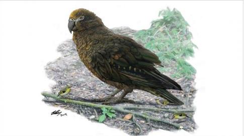 Papagalli më i madh ndonjëherë, peshonte 7 kilogramë