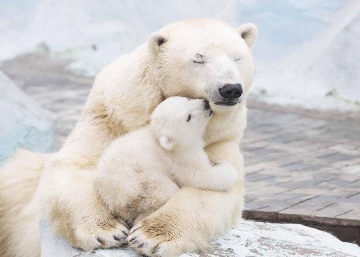 Paralajmëron eksperti, arinjtë polarë afër zhdukjes