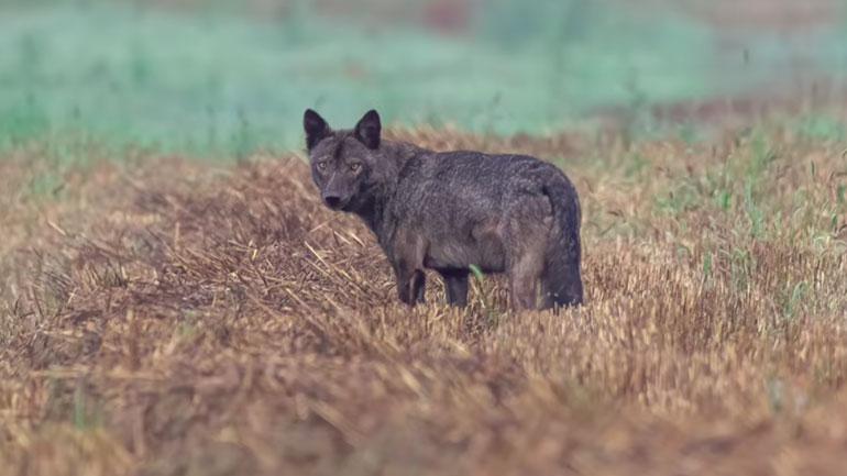 Ujkun e Zi e kap objektivi I fotografit Besnik Jakupi