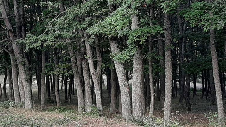 Dominojnë aktakuzat për vjedhje pylli