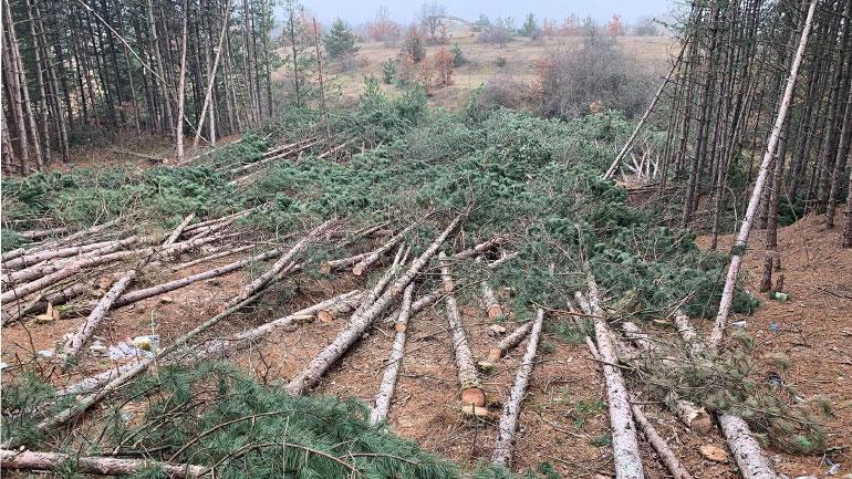 Kryetari i Kamenicës sqaron prerjen e pishave në Karaçevë të Epërme